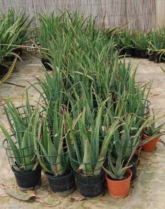 Planta aloe vera de 3 a os aloe vera ecol gico - Planta de aloe vera precio ...